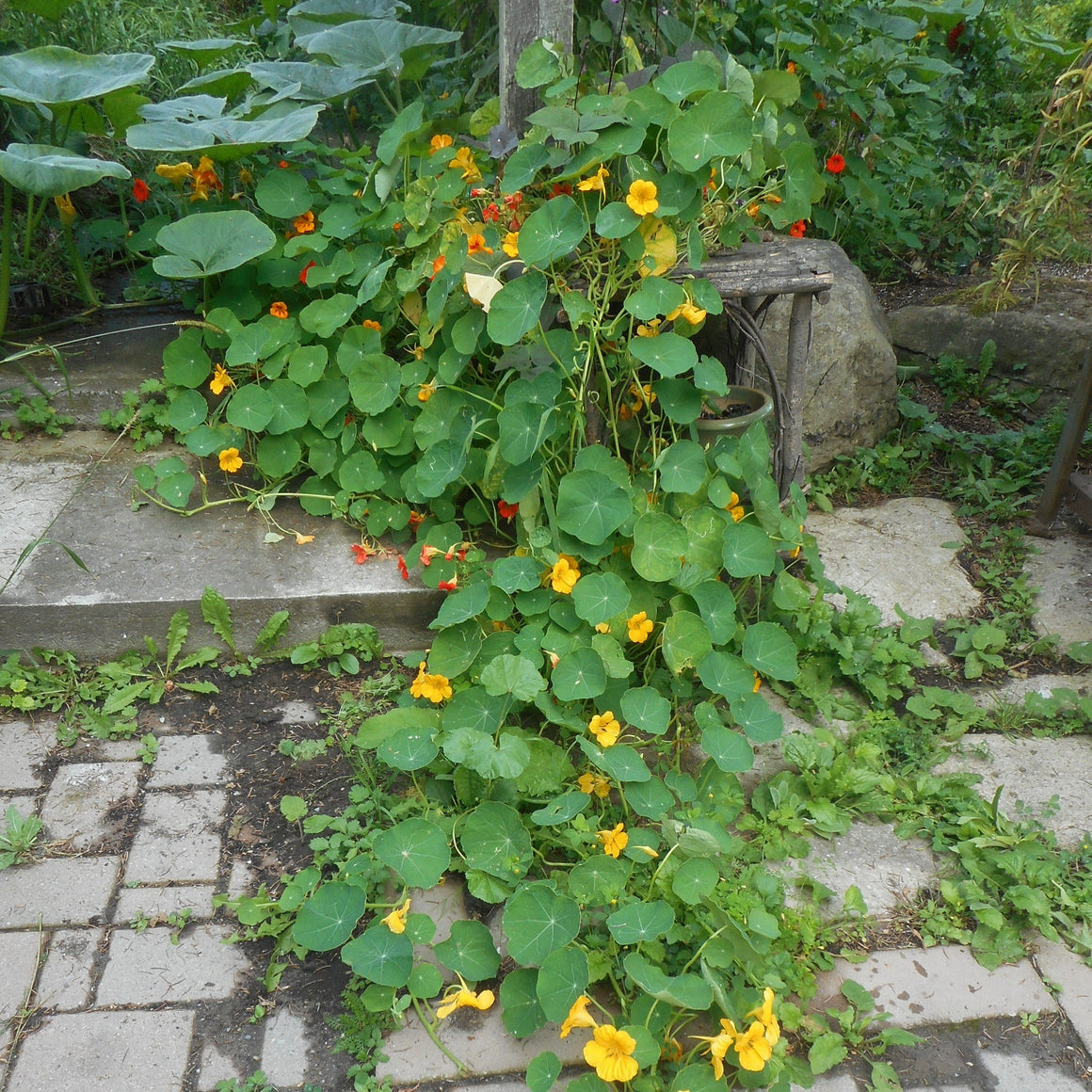 Nasturtium-Mixed colors (organic)