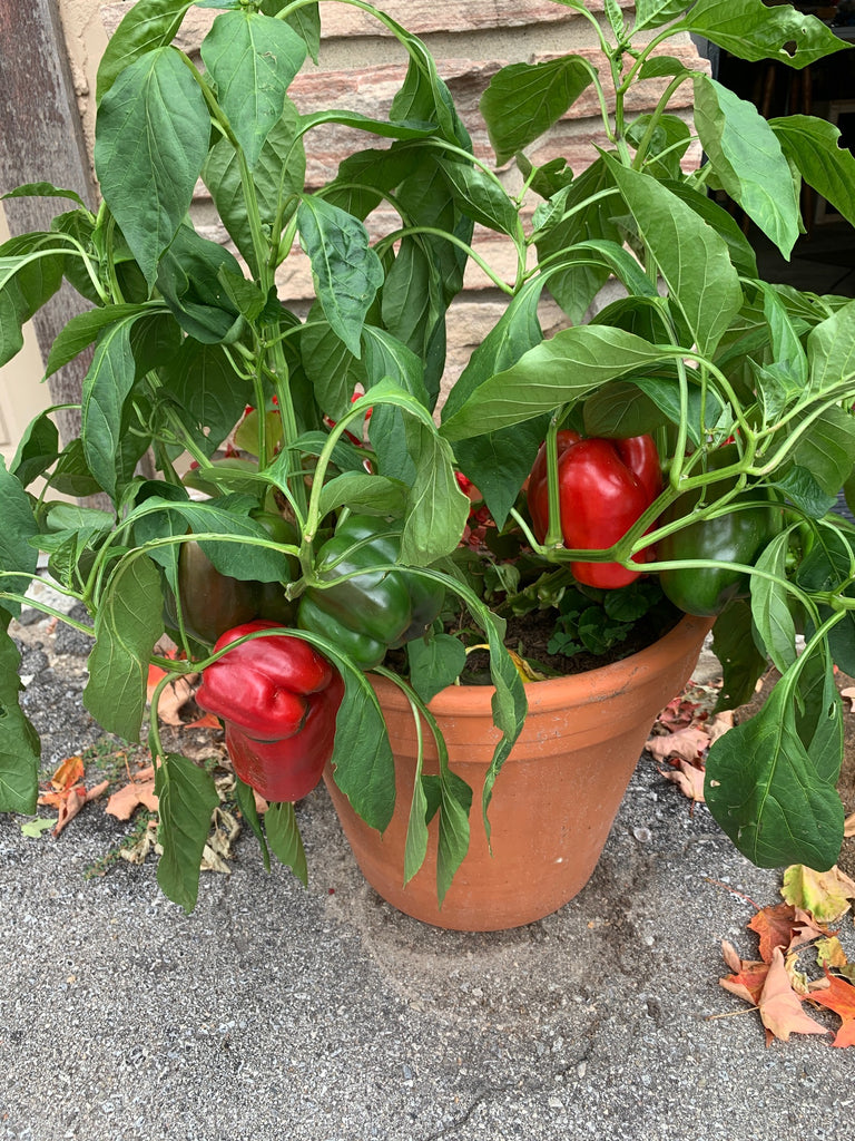Pepper-Atlantic Red (Organic)