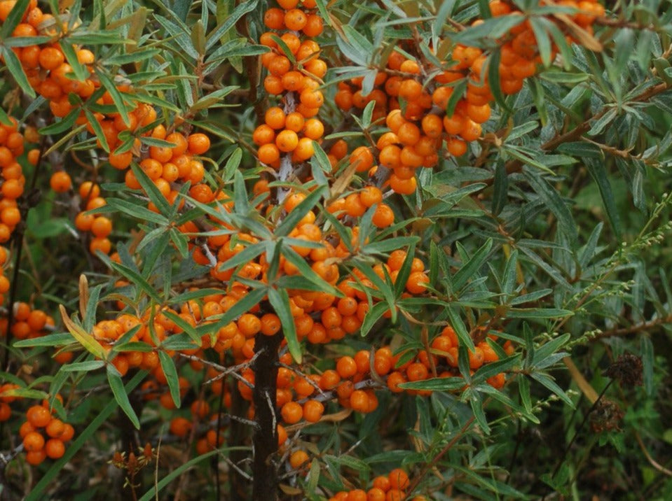 Tree-Sea Buckthorn (Hippophae rhamnoides)