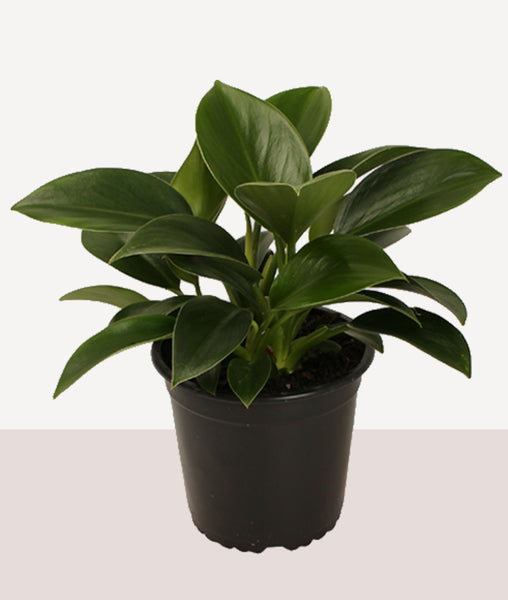 Philodendron Green Princess / Potted Fresh Plant