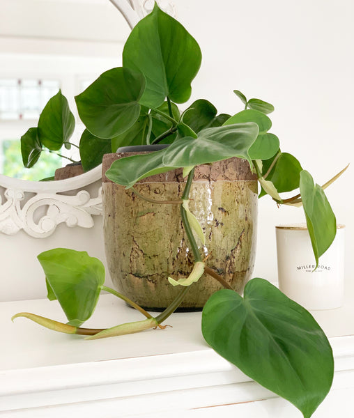 Heartleaf Philodendron (Philodendron Scanden) Hanging Fresh Potted Plant