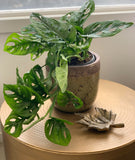 Monstera Monkey Mask / Hanging Fresh Potted Plant