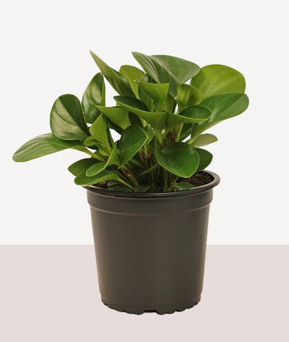 Peperomia Green / Potted Fresh Plant
