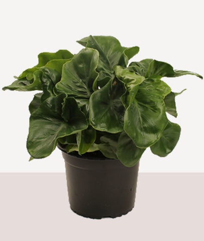 Philodendron Atom / Potted Fresh Plant