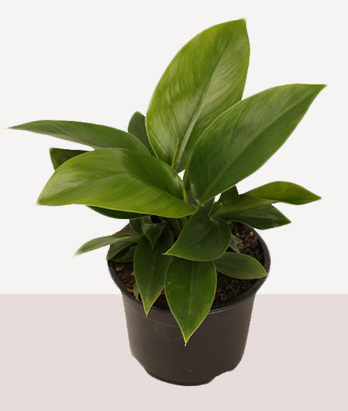 Philodendron Imperial Green / Fresh Potted Plant