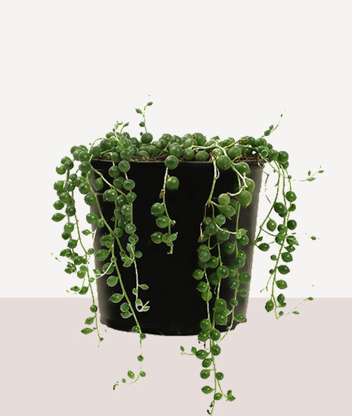 String of Pearls / Potted Fresh Plant