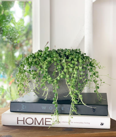 Variegated String of Pearls (Senecio rowleyanus varigata) Fresh Pot Plant