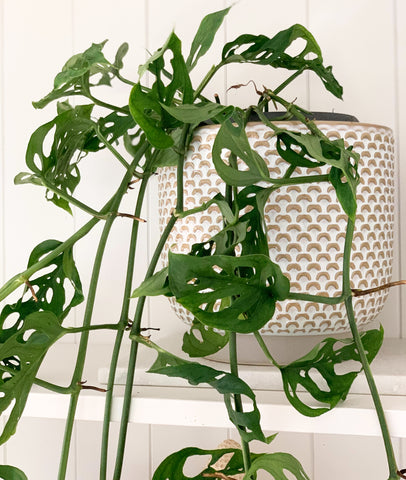 Monstera Swiss Cheese Vine Hanging Fresh Potted Plant