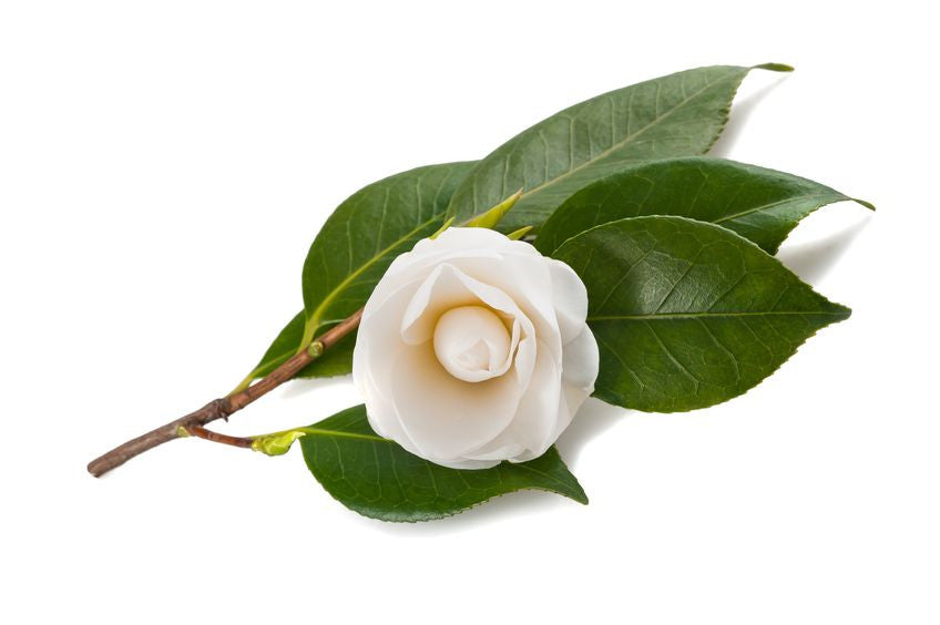 White Tea Leaf Extract (Camellia Sinensis)