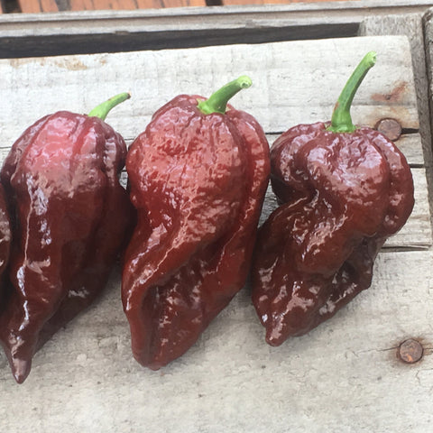 "7 Pot Brown X Bhut Jolokia ""SL"" seeds"