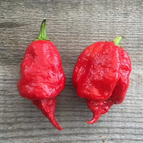 "7 Pot brown BMF X Carolina Reaper RED ""SL"" seeds"