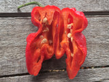 DR Piment DRP 02 Bhut Jolokia X Yellow Devil Tongue