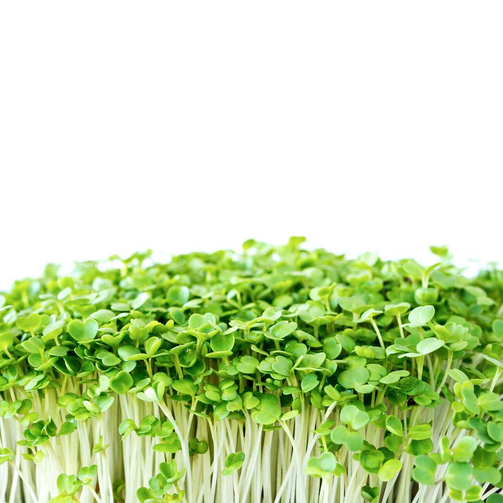 Microgreen Salad Rocket