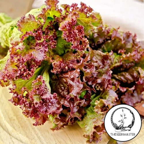 Lettuce Red Arrow