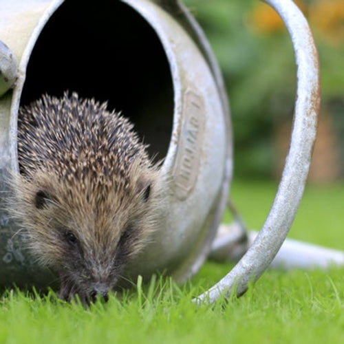 Make a Hedgehog wildlife corner...