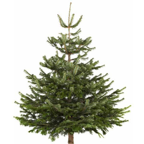 Image of Sustainable Delamere Forest Christmas Tree | Dandys