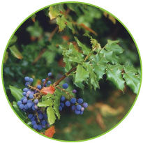 Holistic Oregon Grape Root