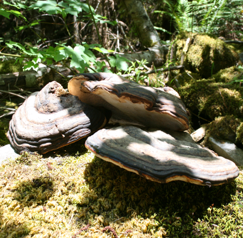 red belted conk mushroom