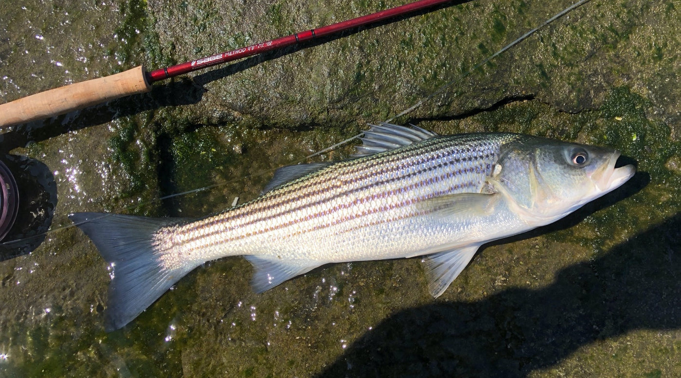 Bear Stripers northeast fishing report: 11/8/19 - the compleat angler