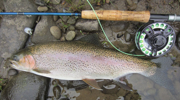 Delaware Rainbow Trout