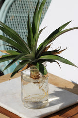 Hawaii Made - Blog - Easy Steps to Growing a Pineapple