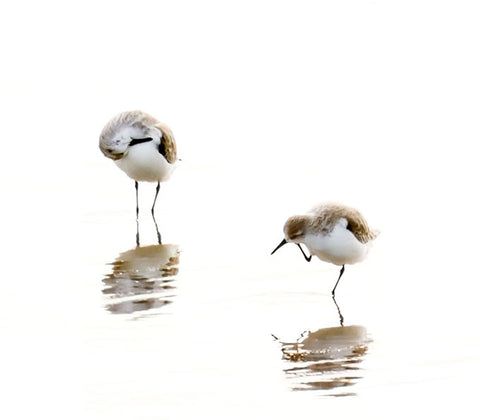 Sandpipers - Fine art bird photography by Cattie Coyle Photography