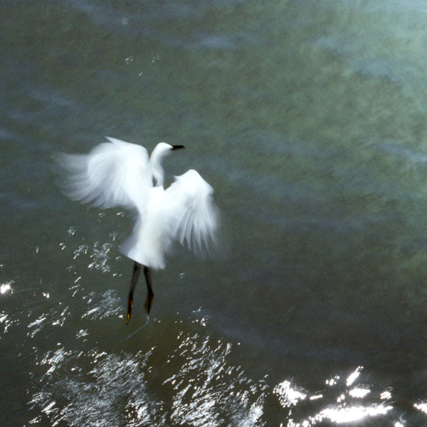 Fishing - Snowy Egret - Bird Photography - Wildlife Wall Art - Bird Wall Decor - Cattie Coyle Photography