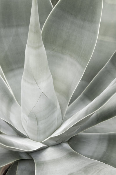 Fox Tail Agave - Pale green fine art print by Cattie Coyle Photography