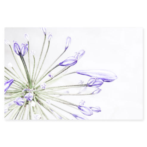 Lily of the Nile No. 1 - Purple flower print by Cattie Coyle Photography