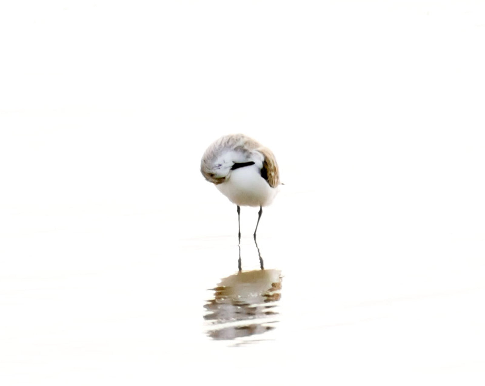 Sandpiper No 1 Bird Photography Wall Art by Cattie Coyle Photography