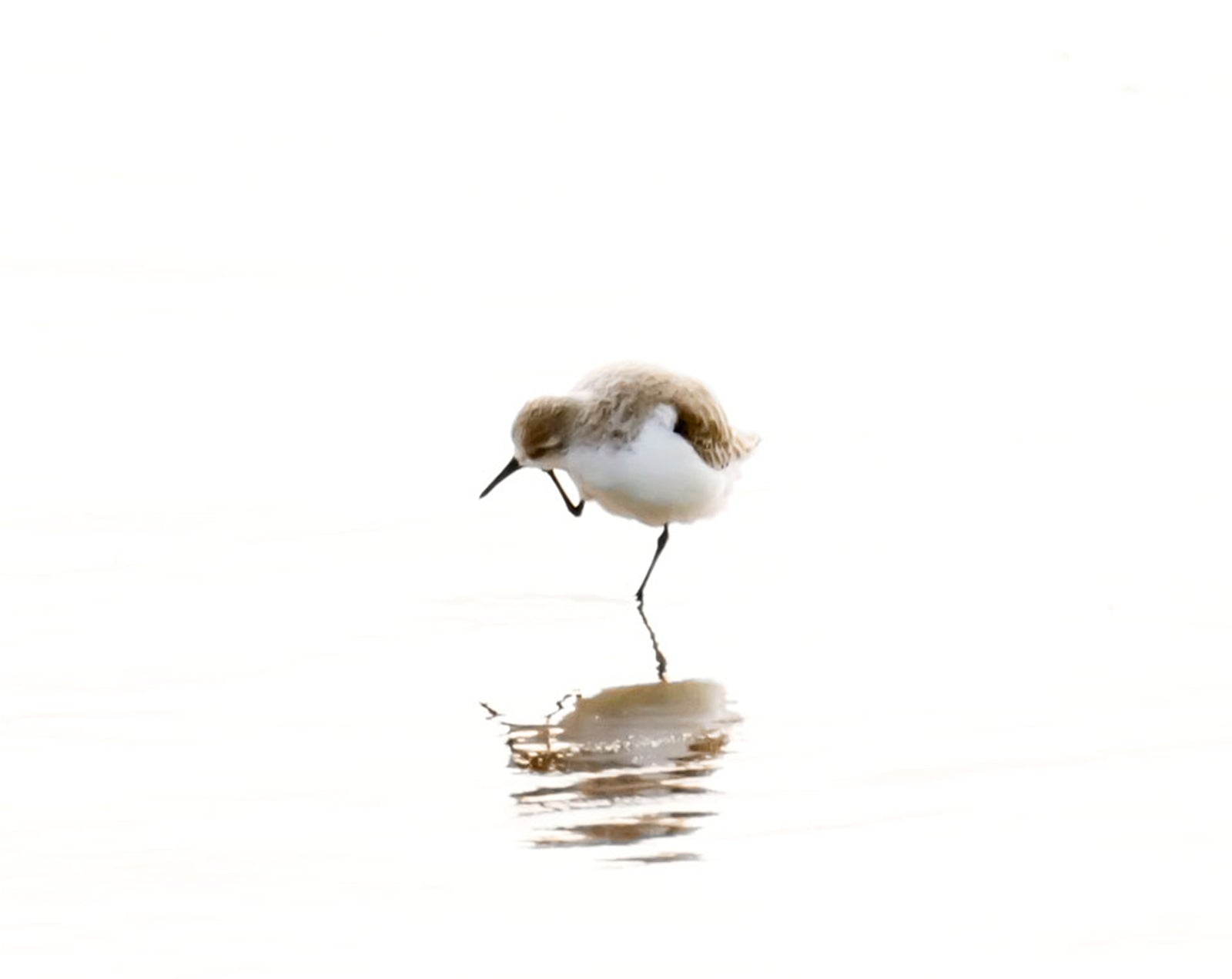 Sandpiper No 2 Bird Photography Wall Art by Cattie Coyle Photography