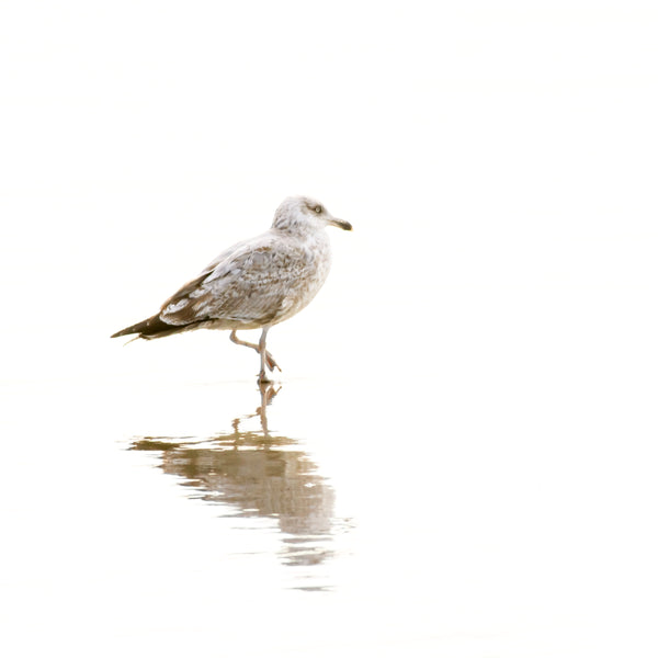 Seagull No 2 - Minimalist bird print by Cattie Coyle Photography