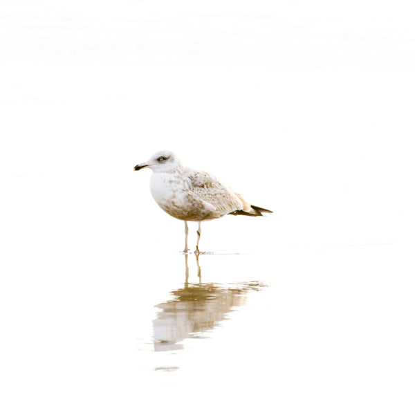 Seagull No 1 - Minimalist bird print by Cattie Coyle Photography