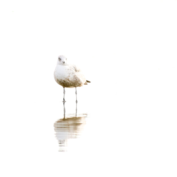 Seagull No 4 - Bird photography art prints by Cattie Coyle Photography