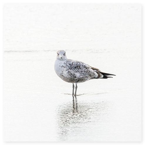 Seagull No 8 - Bird fine art print by Cattie Coyle Photography