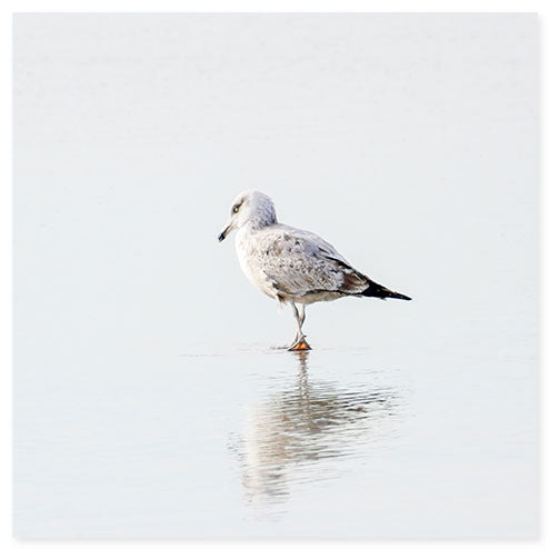 Seagull No. 9 Square