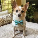 """The Supervisor"" - Bow Tie Teal Plaid for cats & small dogs - The Happy Dolphin Pets"