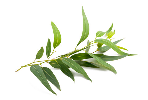 eucalyptus plant leaves