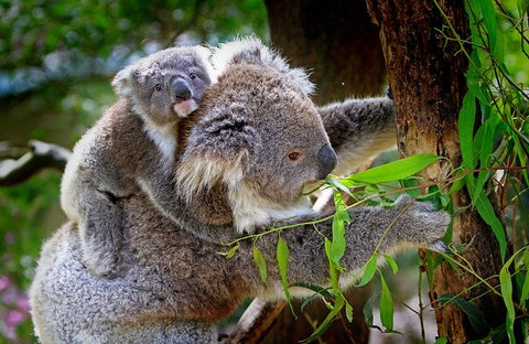 Koala mom and baby in a tree