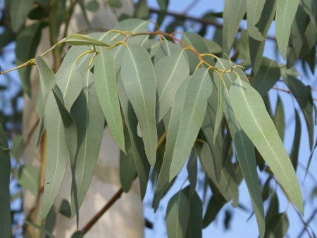 Organic Eucalyptus Radiata Essential Oil