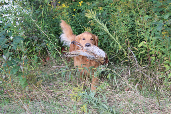 Beginner Gun Dog Workshop (2 Days - outdoors)