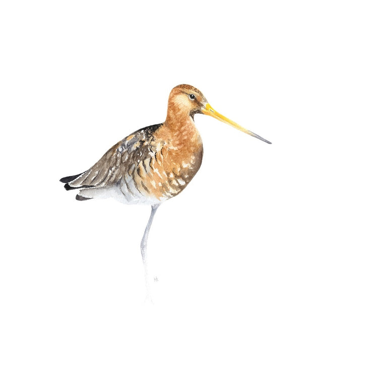 Black Tailed Godwit Watercolour Giclee Print