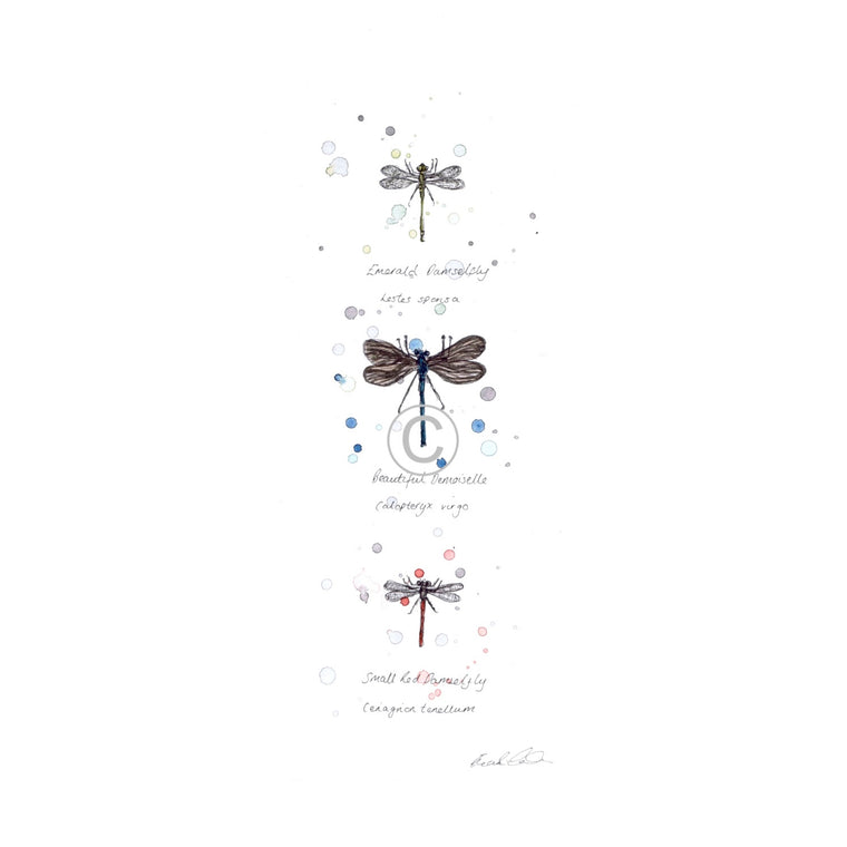 British Dragonflies Ink and Watercolour Signed Limited Edition Print