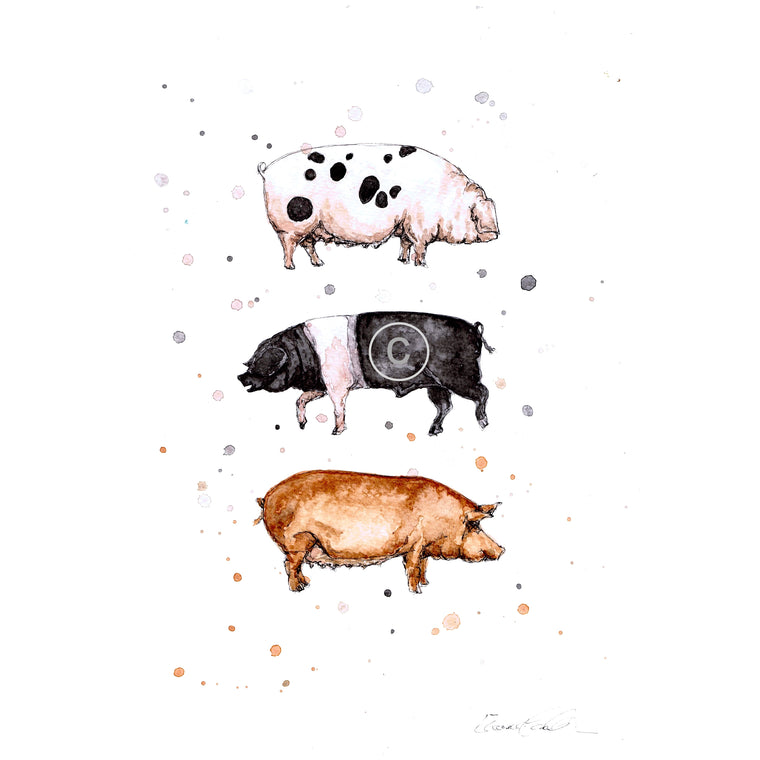 Native Pig Breeds Ink and Watercolour Signed Limited Edition Print