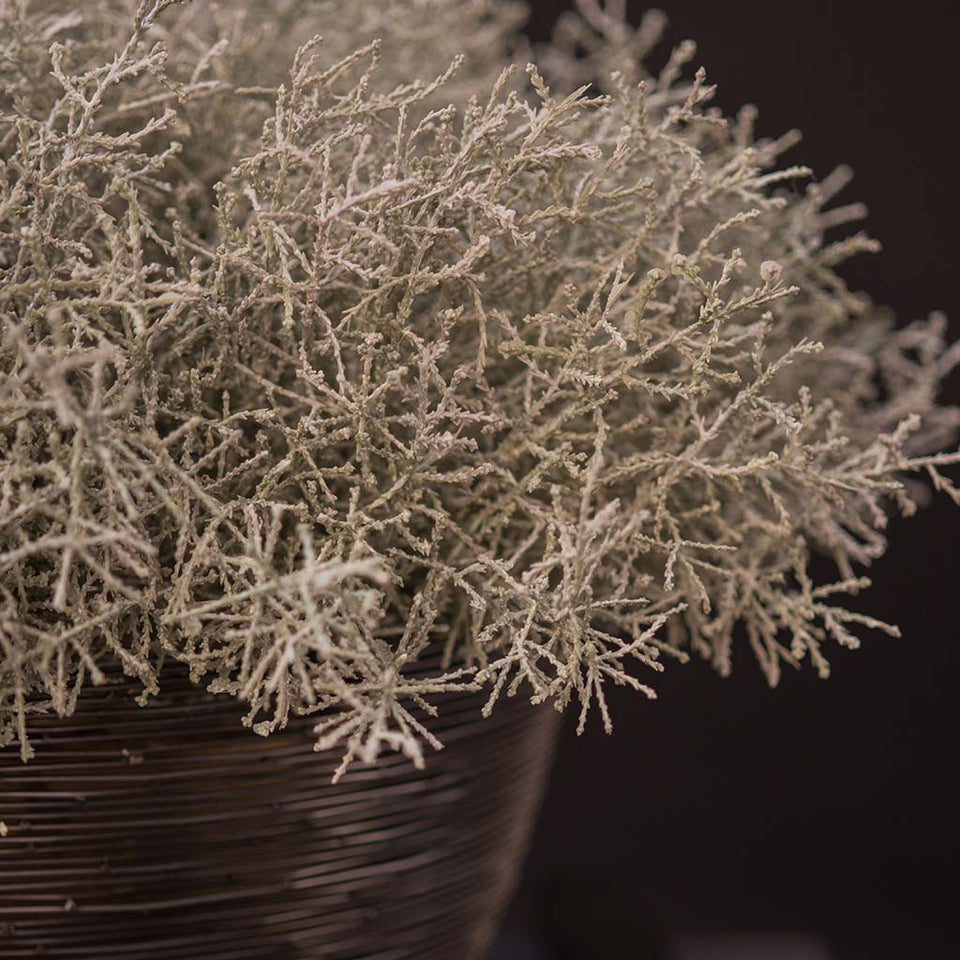 Platinum asparagus bush in black woven vessel