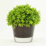 Selaginella & Bubble Glass Container