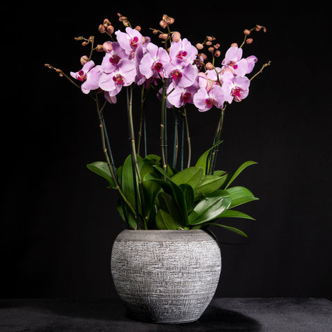 Signature Orchids - Pink