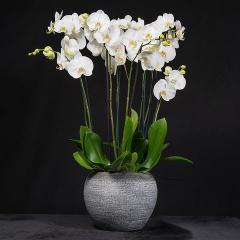 Signature Orchids - White