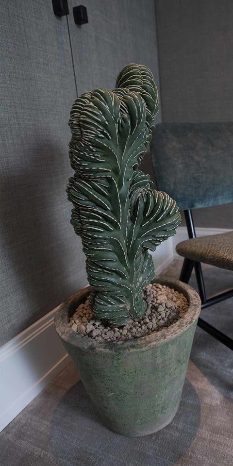 Large live catcus in brushed concrete planter