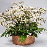Miniature Orchids - White